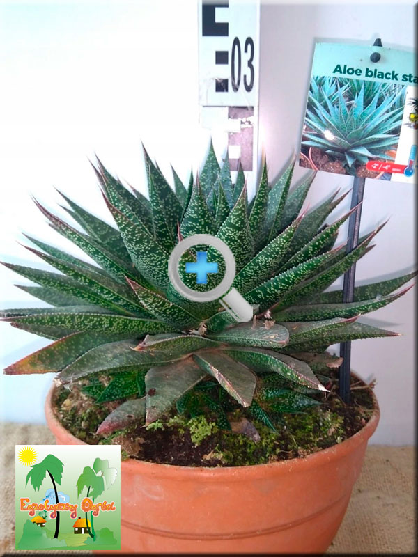 ALOE</BR>BLACK STAR