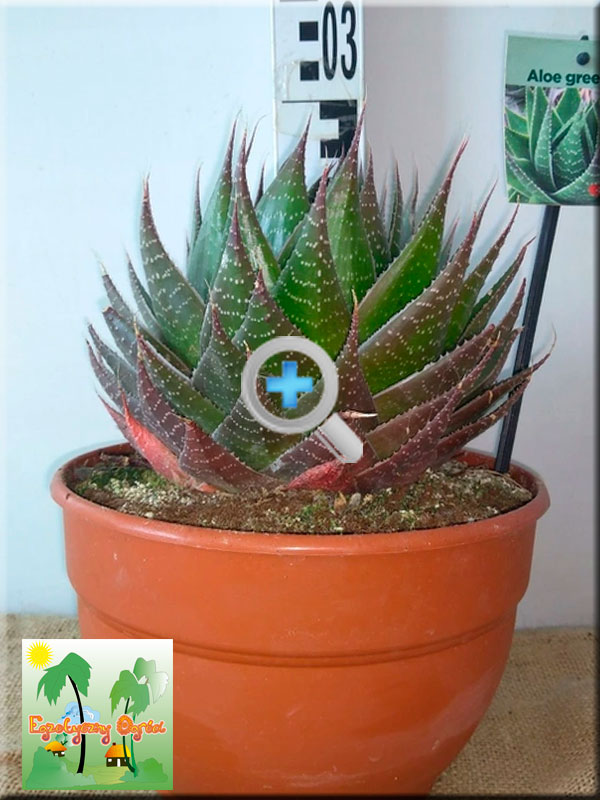 ALOE</BR>GREEN STAR
