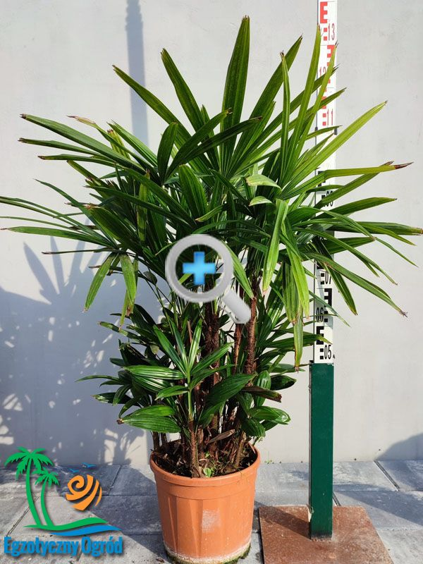 RAPHIS EXCELSA CT35