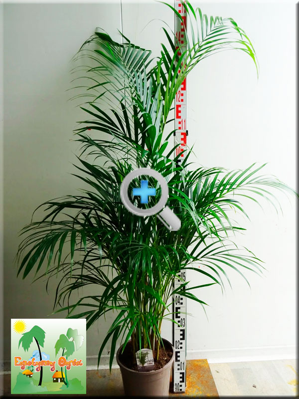 ARECA - Dypsis lutescens -