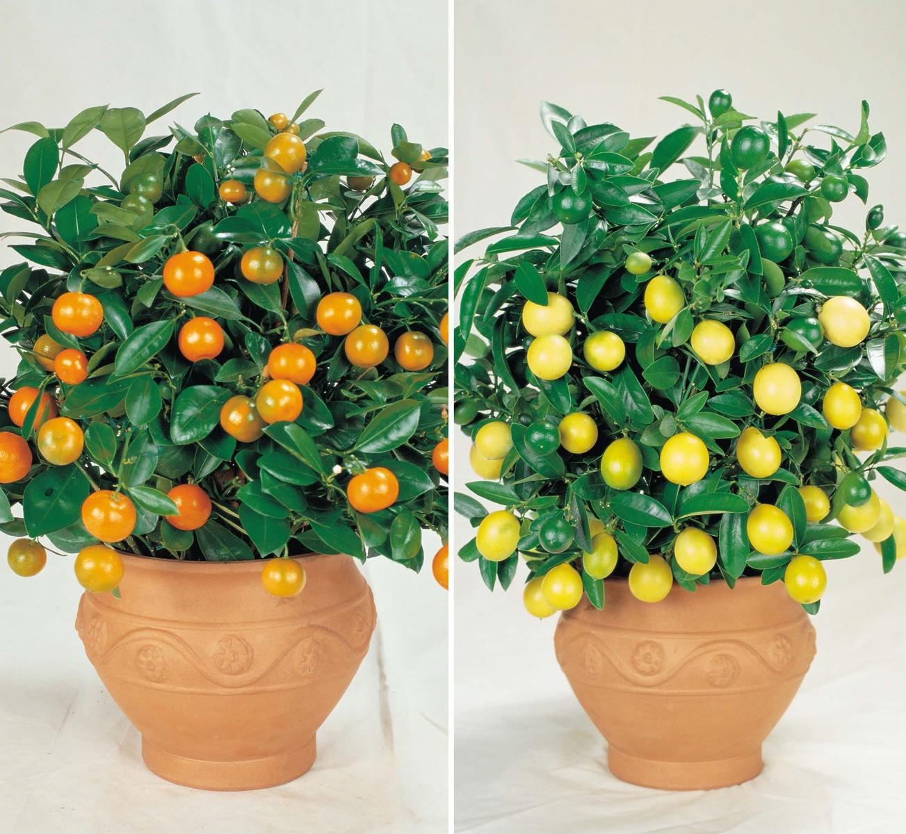 Купить это растение за 35000 rur
