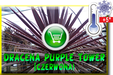 Dracena Purple Tower