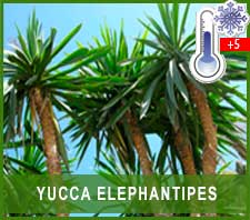 Yuca Elephantipes