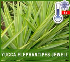 Yuca Jewel