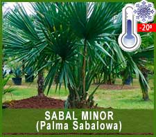Sabal Minor